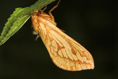 """Ghost Swift Moth (hepialus humuli) • <a style=""""font-size:0.8em;"""" href=""""http://www.flickr.com/photos/57024565@N00/182485355/"""" target=""""_blank"""">View on Flickr</a>"""