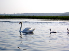 Swans on Indian River (Beelzebozo) Tags: swan fishing michigan gps indianriver