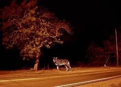 12:48AM-  Cape Cod Coyote