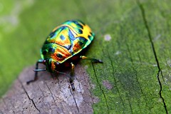 technicolour dreamshell (dfe) Tags: insect 100v10f 100mm christmasbeetle wildlifephotography cotcmostfavorited jewelbeetle xgf02 wildlifesoutheastasia animalkingdomelite x0211 x0212 x02shortlisted jewelscarab aplusphoto world100f