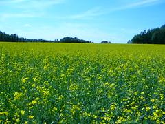Yellow (KurtQ) Tags: flowers summer plants yellow lumix sweden july 06 raps canola vstmanland tz1 oilplants