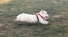 Oscar, running fast
