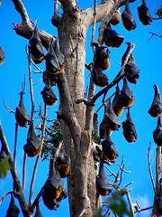 Holey bats batman..... (Earlette) Tags: winter animals flying rainforest sunday australia 2006 brush fox nsw newsouthwales hanging flyingfox bats wingham