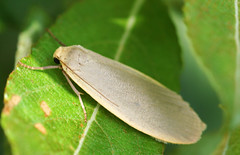 "Dingy Footman Moth (eilema griseola)(1) • <a style=""font-size:0.8em;"" href=""http://www.flickr.com/photos/57024565@N00/194651493/"" target=""_blank"">View on Flickr</a>"