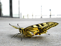 urban nature (idogu) Tags: urban 15fav macro nature topf25 topc25 closeup 1025fav wow butterfly ilovenature 100v10f 2550fav weeklysurvivor swallowtail xxxx fifty papiliomachaon xxxxx 50fav sonyp200 1show websetfavorite websetnature selectshow