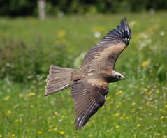 Grace in Motion (Patrick Costello) Tags: d50 bokeh flight explore raptor blackkite specnature hawkconservancy specanimal animalkingdomelite avianexcellence