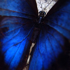 Incomparable Indigo ( tasha-lynn ) Tags: blue ontario canada black macro animal closeup butterfly insect dof bokeh azure indigo depthoffield planet colourful upclose fragile animalplanet closer butterflygardens cerulean extensiontube antenae flickrsbest brilliant~eye~jewels