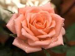 Morning dew (Padrone) Tags: pink flower rose interestingness explore breastcancer miniaturerose interestingness15 i500 rawconversion abigfave pinkforthecure