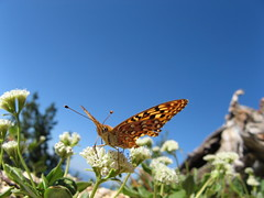 Butterfly on Mount Scott, Crater Lake National...