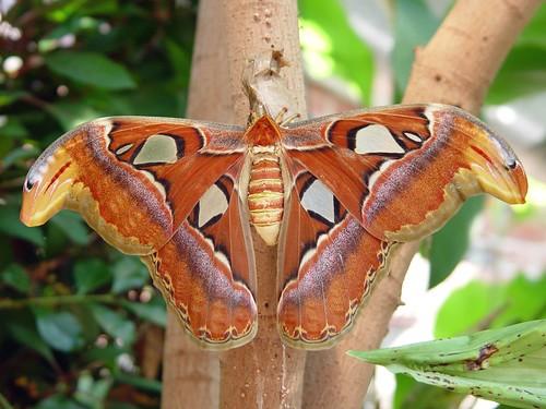 Atlas Moth Silkworm Moth