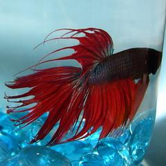 red hidekazu (anzyAprico) Tags: blue red pet fish animal 2006 betta hidekazu crowntails