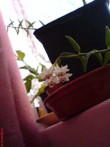 Hoya Engleriana