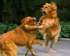 The Sweet-Natured Golden Retriever (PLAYING)... (Andrew Morrell Photography) Tags: dog alex loving goldenretriever interestingness top20dogpix sammy playful gentle docile morrell 250f borell 1500v60f specanimal exploretop20 impressedbeauty