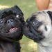 子犬:Pug Meetup - Buddha gettin' sniffed