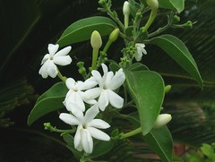 indian juhi jasmien azoricum fluminense