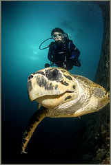 Friendly Turtle on Wreck of Thistlegorm  Sha'ab Ali  red sea (Fiona Ayerst) Tags: life red sea portrait vertical marine underwater with turtle redsea egypt friendly diver wreck interaction inquisitive scubadiver loggerheadturtle d100nikon gulfofsuez closeupwideangle seaseastrobes120s eatingturtle danielfisher shaabali wreckofthethistlegorm worldwartwowreck bombedbygermans october1941 newfreighter wreckedmotorbikes wreckedcarsandtrucks modelandwreck scubadiverandwreckandsoftcoral