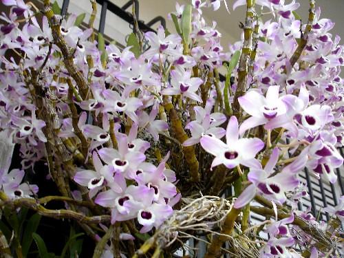 Orquídeas-Dendobrium mobile por Aneleh_.