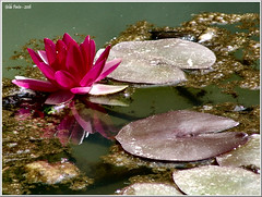 Waterlilies floating... (Azorina) Tags: flower verde green folhas portugal water leaves gua reflections ilovenature poetry poem waterlily flor waterlilies poesia reflexos azores nenfar poema smiguel nymphaeaceae parqueterranostra azorina