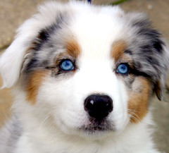 Young Blue Eyes! (Huntey) Tags: blue pets cute dogs face animals puppy eyes faces canine australianshepherd aussies anawesomeshot