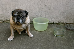 Pug With Tupperware and Glass Bowl (zoomar) Tags: seattle dog green dogs glass concrete pug bowl pugs roscoe tupperware disinterestedpug