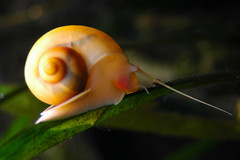 Water snail (pmsmgomes) Tags: macro slr portugal colors digital nikon d70s sigma watersnail 82mm pmsmgomes 1on1naturephotooftheday 2882mm aquriovascodagama
