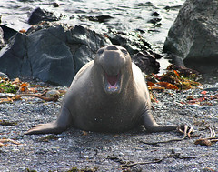Elephant seal laughing at me... (Forget Me Knott Photography) Tags: ocean california sea elephant beach coast big san wildlife seal sur simeon animalkingdomelite brianknott forgetmeknottphotography fmkphoto