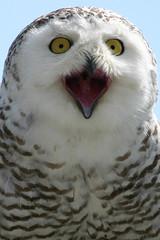 Sneeuwuil / Snow Owl (martin werker) Tags: bird austria owl snowowl 1on1 snowyowl nycteascandiaca landskron sneeuwuil thecontinuum specanimal abigfave avianexcellence eliteimages