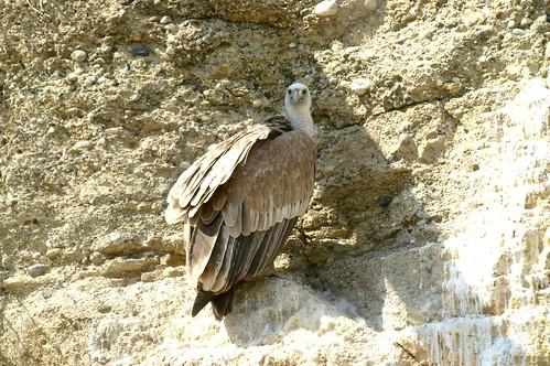 buitre leonado - Griffon Vultures - Gyps fulvus