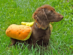 Another of Ted's Halloween in July photos. (Doxieone) Tags: dog brown green fall halloween grass puppy hotdog costume interestingness nikon teddy mosaic yes dachshund explore 101 v final exploreinterestingness hott mostpopular ggg 1002 onexplore final2 topfavorite explored 216493 3027108 doxieone101 halloweenset ted