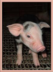 Big ears (apey dawn) Tags: tag3 taggedout tag2 tag1 aprildawncook