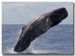 Physeter Macrocephalus (PedroMadruga) Tags: wild canon azores breach spermwhale southpico spermwhalebreach pedromadruga