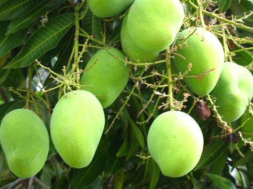 a bunch of unripe mangos hanging from the tree
