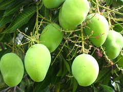 mango tree by robert and fabienne (via Creative Commons)