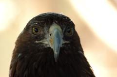 Golden Eagle (jdwheaton) Tags: bird zoo golden eagle beak nikond50 goldeneagle birdofprey moorpark mrbendy moorparkzoo