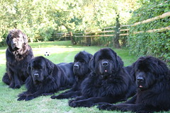 Definately needs a bit of colour (chris_rshtn) Tags: dog black dogs garden jessica sunny chester reese luci newfoundlands afternooon newfy lorellei