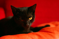 Cat Stare (fofurasfelinas) Tags: black topf25 cat chat gato neko bb fofurasfelinas cc300 cc200 cc100 catphotography felinephotography gianeportal furryfelines fotografiadegatos fotografiafelina