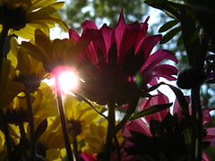 Today's backlighting (Armonie (Florence Gendrot Fve)) Tags: flowers sun sunny backlighting armonya