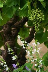 Grape Stem (julsatmidnight) Tags: flowers white france flower green leaves garden french leaf vineyard frankreich purple wine gardening vine grapes trunk grape juls bitche
