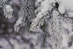 Festive Frost (obsequies) Tags: winterwonderland winter wonderland frost snow bokeh macro whimsy whimsical december holidays merry christmas happy monochrome love cold canada woodland nature pine tree trees branch branches needles cozy yard outdoors still life contrast white festive frozen frosty scene