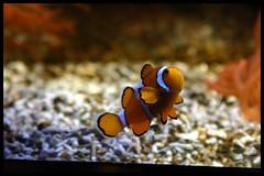 Nemo woont in Artis! (Dit is Suzanne) Tags: orange netherlands amsterdam zoo nemo nederland canondigitalrebel fishes vissen oranje noordholland dierentuin   views200  23072006   artisnaturalis ditissuzanne