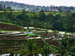 Jatiluwih Rice fields (marcin.pierzchala) Tags: bali rice jatiluwih