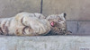 Apollo ♂ - Sweet Hour of Prayer (Harimau Kayu (AKA Sumatra-Tiger)) Tags: baby animal zoo kid feline tiger prayer bigcat snowwhite apollo bigcats whitetiger zooshot tobu mirrormirror bengaltiger babytiger königstiger 孟加拉白虎 tigreblanco pantheratigristigris tobuzoo tigreblancroyal 孟加拉虎 tigredubengale weisertiger sweethourofprayer indischertiger белыйтигр бенгальскийтигр giveusourdailybread keddo eltigredebengala latigrerealedelbengala giveusourdailymeat