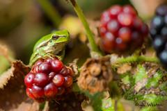 European treefrog (a3aanw) Tags: treefrog boomkikker nikkor105mmf28gvrmicro