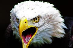 Bald Eagle  (IMG_1285_logo) (PeterCarrPhotography) Tags: detail eye birds bill yorkshire baldeagle beak feathers raptor helmsley birdsofprey duncombepark whiteheadedeagle flickrpeterjcarr flickrpete1074 petercarrphotography icbpduncombe
