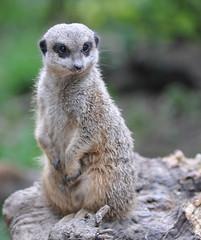 Meerkat Ouwehands Dierenpark (lesbaer4) Tags: zoo meerkat rhenen stokstaartje ouwehandsdierenpark ouwehandszoo