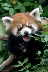 234A8748.jpg (Mark Dumont) Tags: red animals mammal zoo panda mark cincinnati dumont