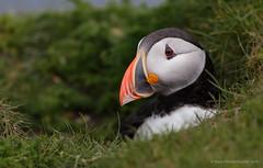 Puffin / Papegaaiduiker (Kees Waterlander) Tags: scotland unitedkingdom gb puffin shetland fraterculaarctica papegaaiduiker virkie mainlandshetland