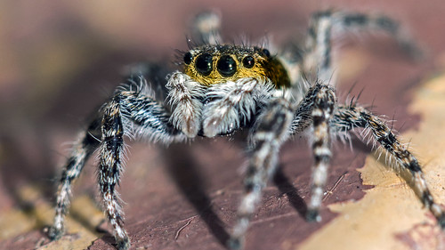 African Spider African Jumping Spider Don't