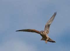 nankeen kestrel (Falco cenchroides)-9671 (rawshorty) Tags: birds australia canberra act rawshorty