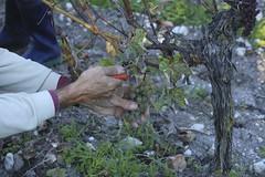 Vendanges 2015 au Vignoble des Hauts de Talmont 11